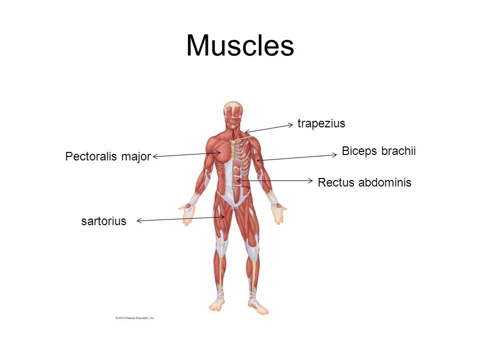 Muscles trapezius Biceps brachii Pectoralis major Rectus abdominis