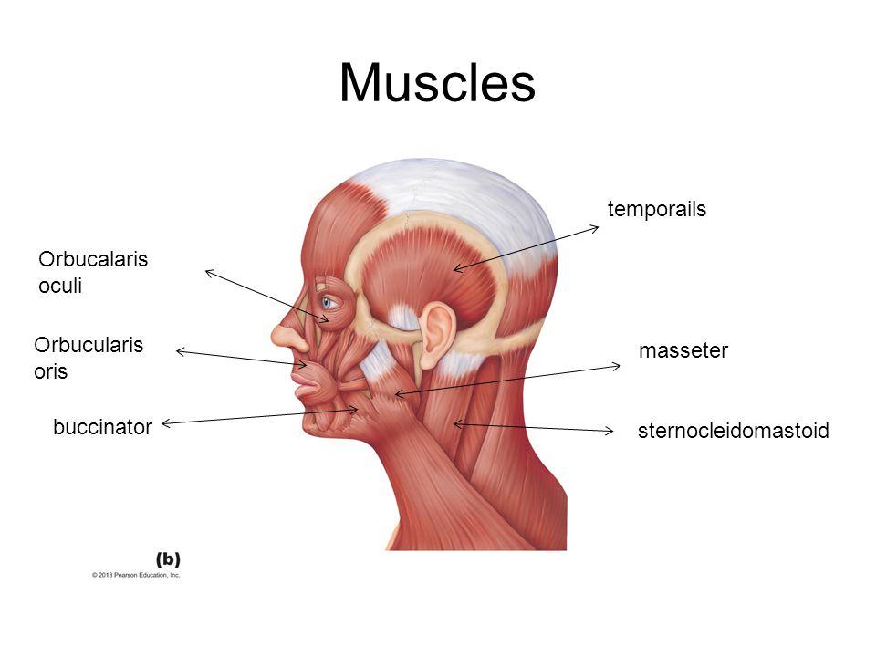 Muscles temporails Orbucalaris oculi Orbucularis oris masseter