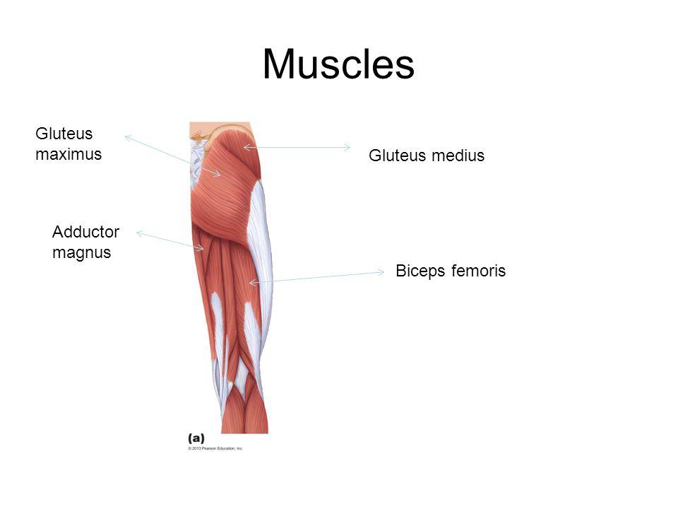 Muscles Gluteus maximus Gluteus medius Adductor magnus Biceps femoris