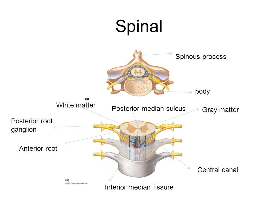 Spinal Spinous process body White matter Posterior median sulcus