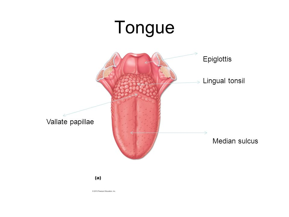 Tongue Epiglottis Lingual tonsil Vallate papillae Median sulcus