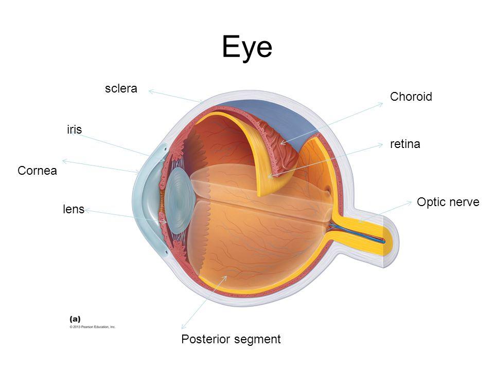 Eye sclera Choroid iris retina Cornea Optic nerve lens