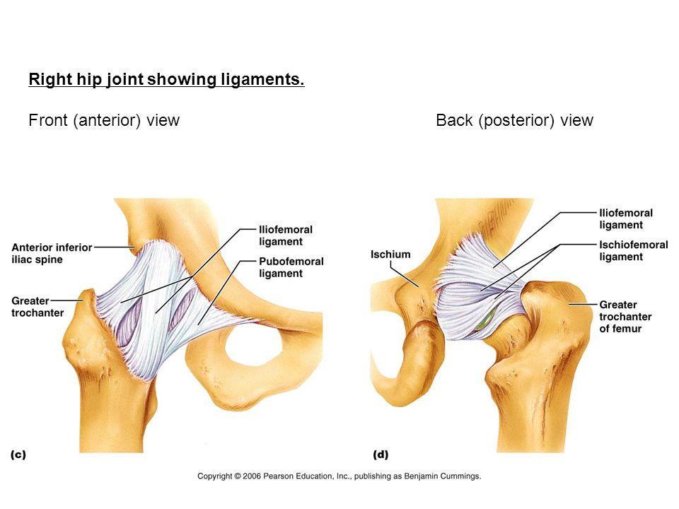 Right hip joint showing ligaments.