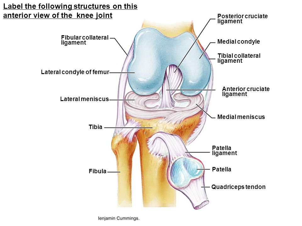 Label the following structures on this anterior view of the knee joint