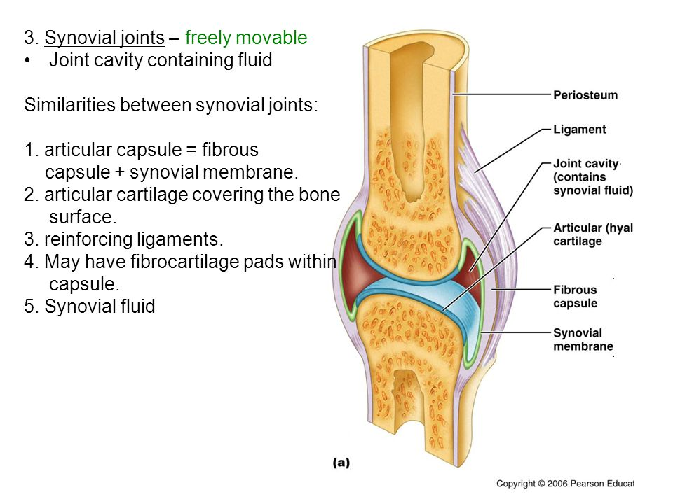 3. Synovial joints – freely movable