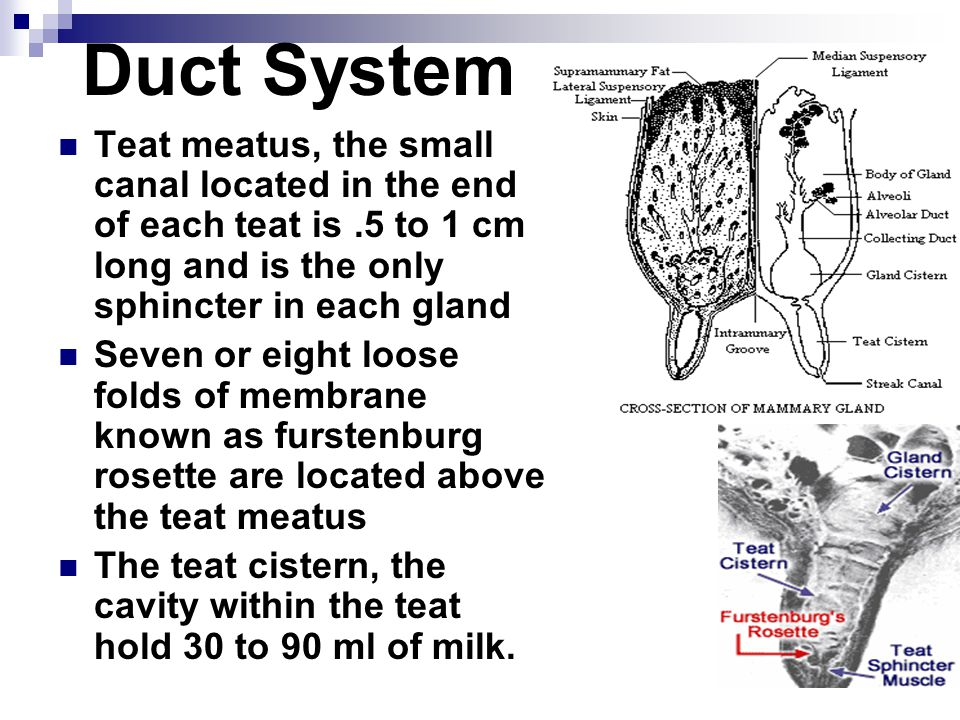 Duct System Teat meatus, the small canal located in the end of each teat is .5 to 1 cm long and is the only sphincter in each gland.