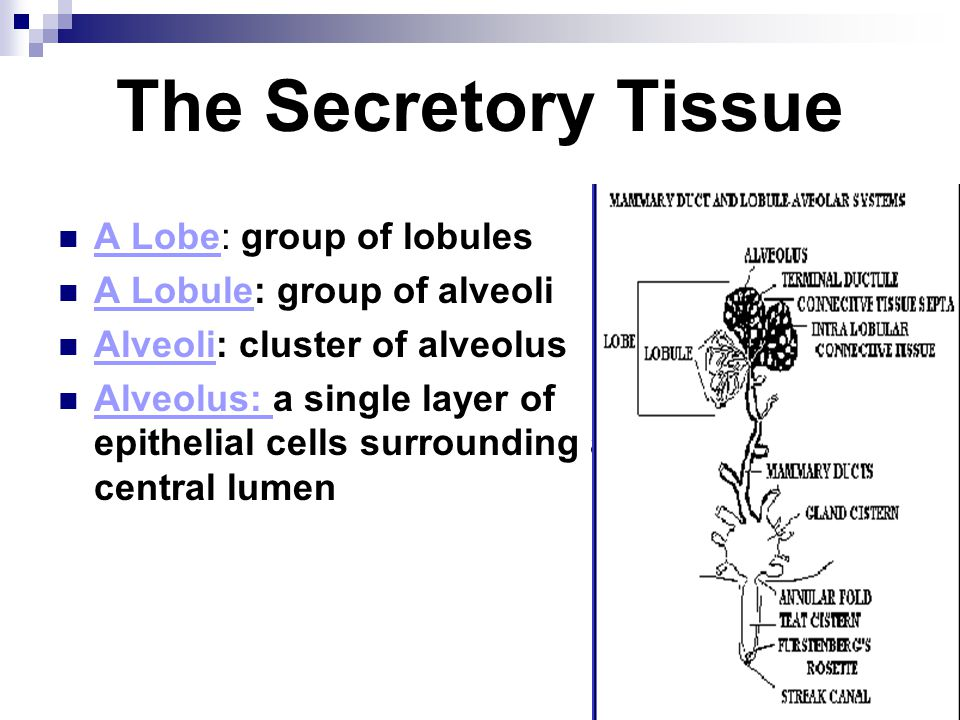The Secretory Tissue A Lobe: group of lobules