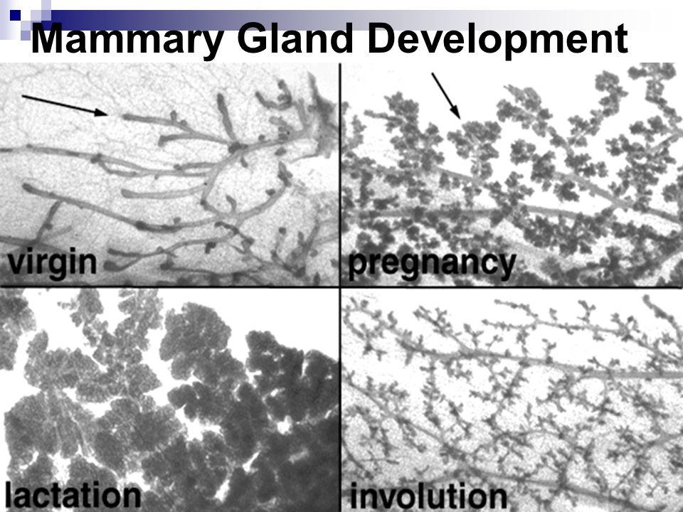 Mammary Gland Development