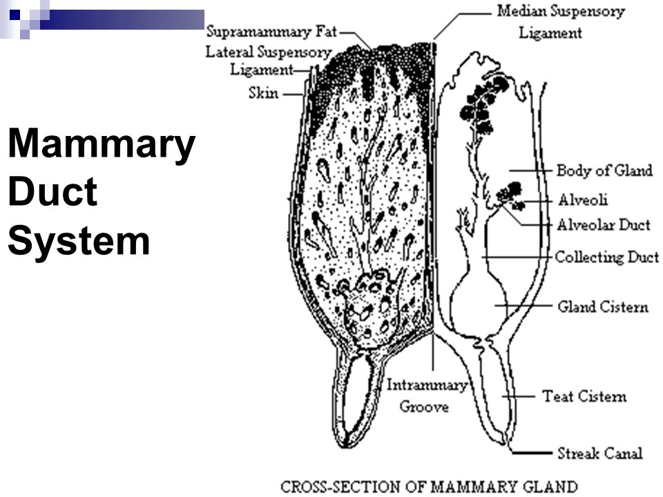Mammary Duct System