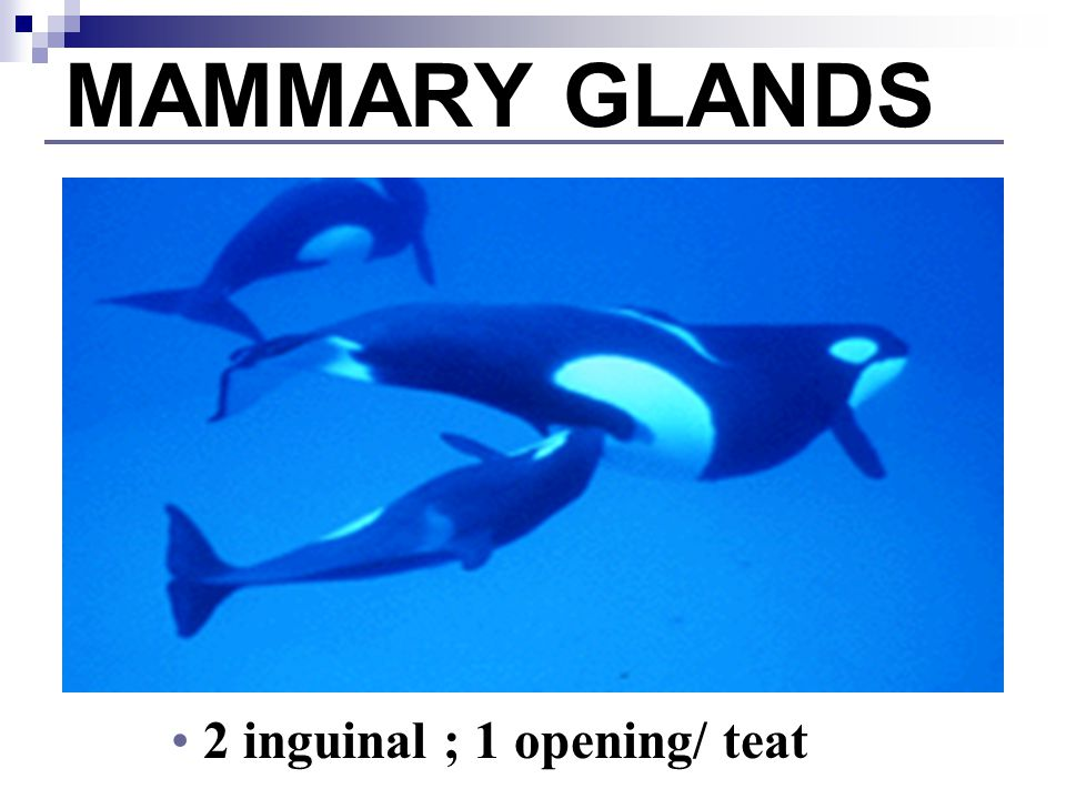 MAMMARY GLANDS 2 inguinal ; 1 opening/ teat