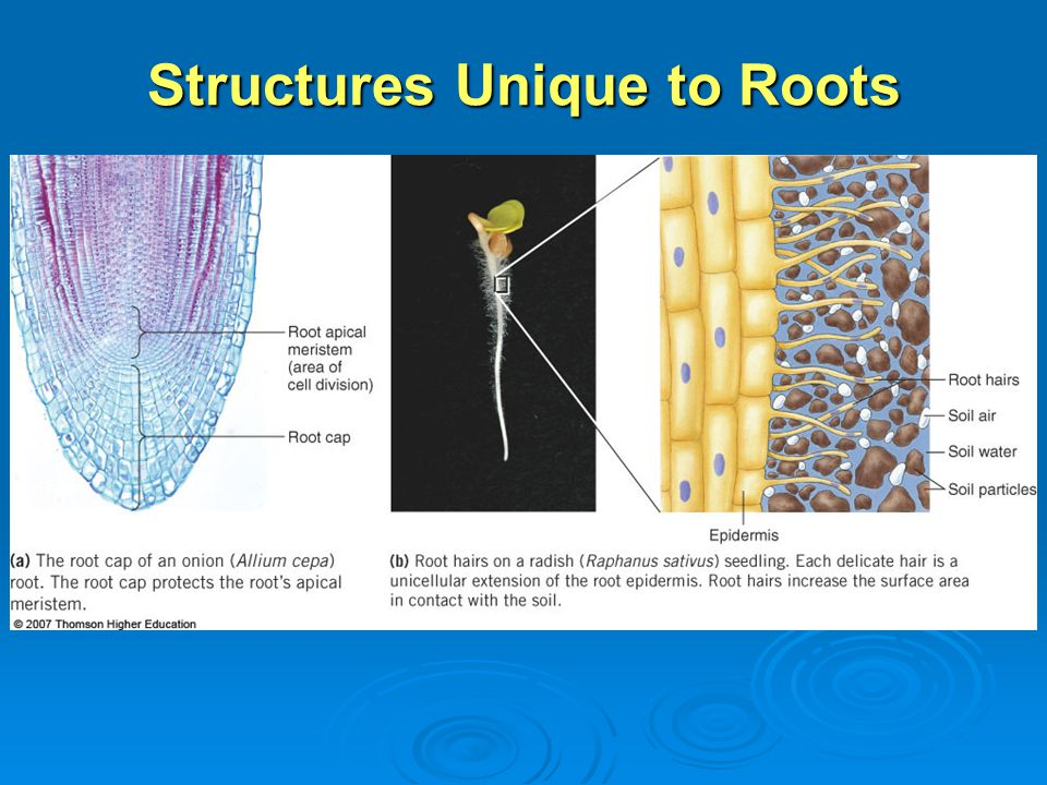 Structures Unique to Roots