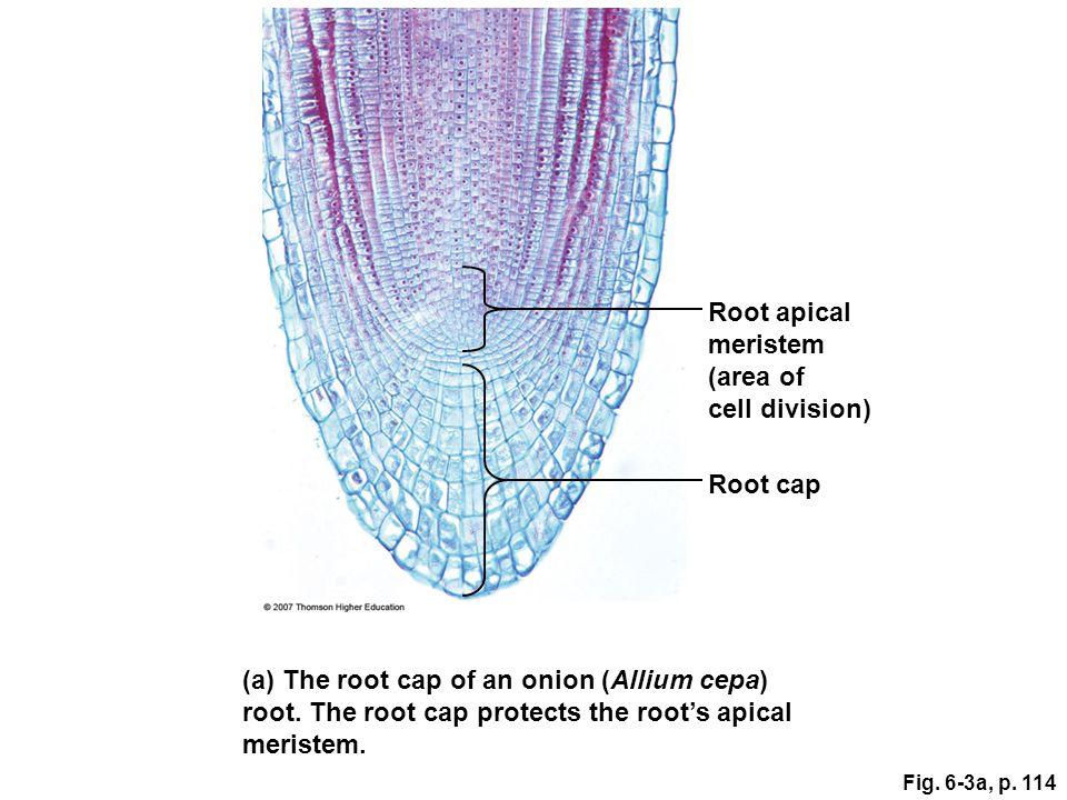 (a) The root cap of an onion (Allium cepa)
