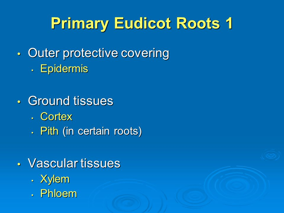 Primary Eudicot Roots 1 Outer protective covering Ground tissues