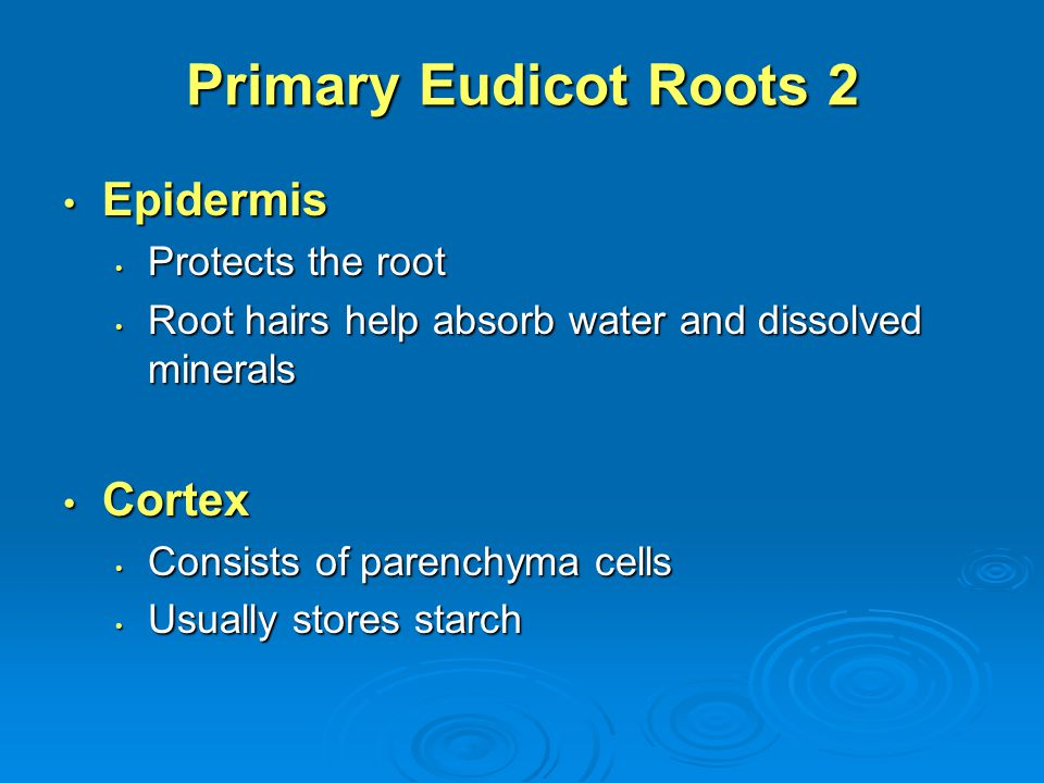 Primary Eudicot Roots 2 Epidermis Cortex Protects the root