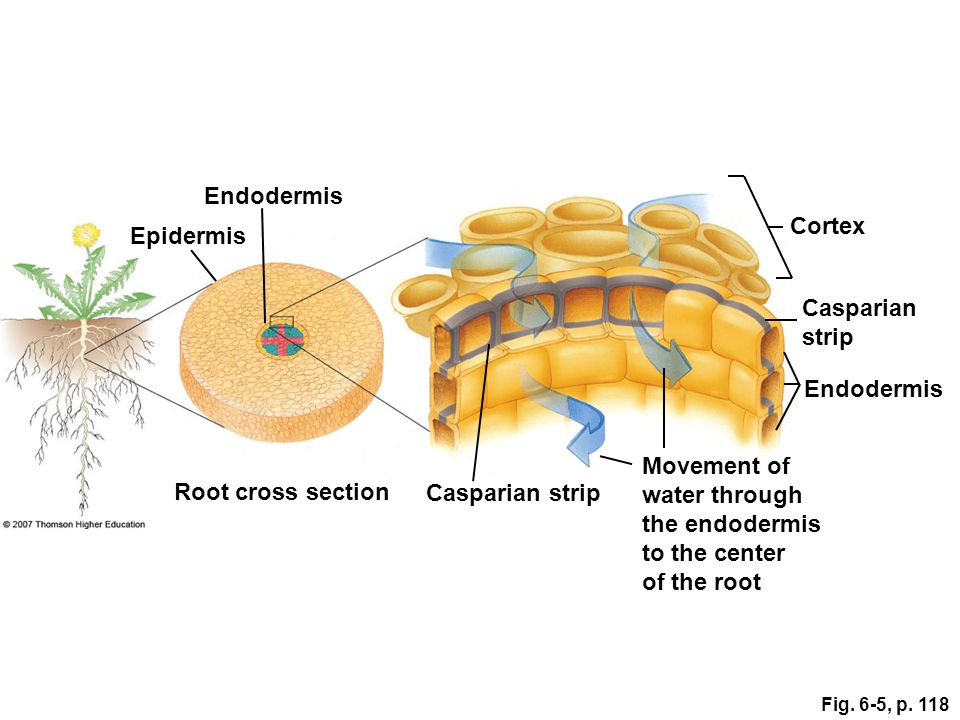 Endodermis Cortex Epidermis Casparian strip Endodermis Movement of