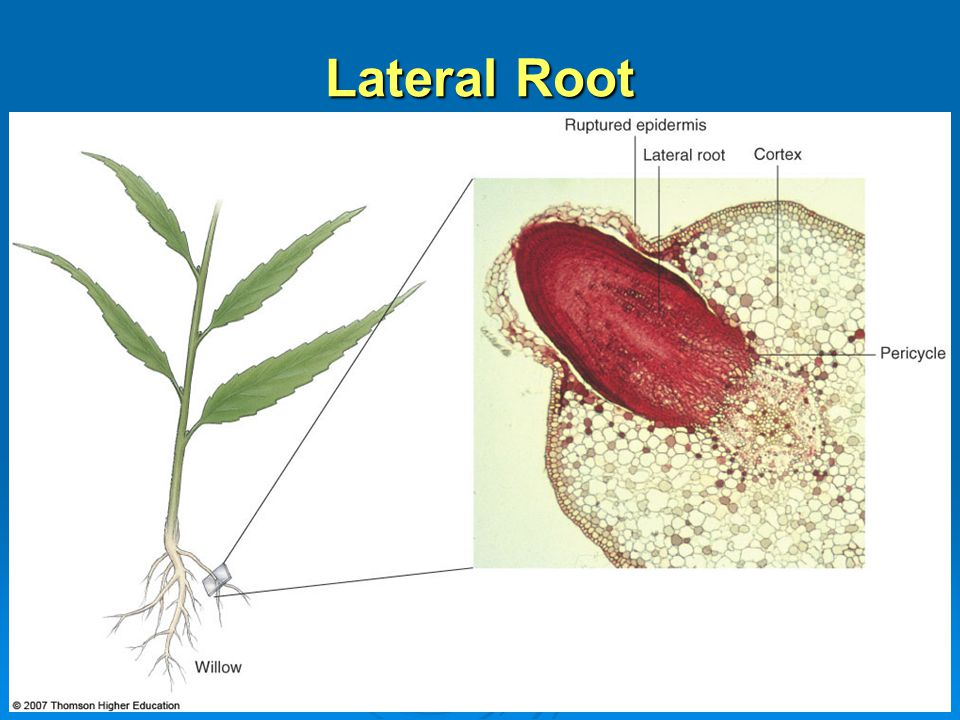 Lateral Root
