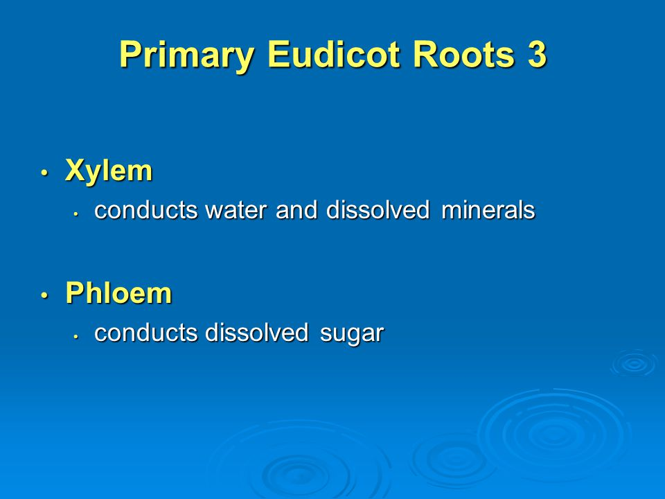 Primary Eudicot Roots 3 Xylem Phloem