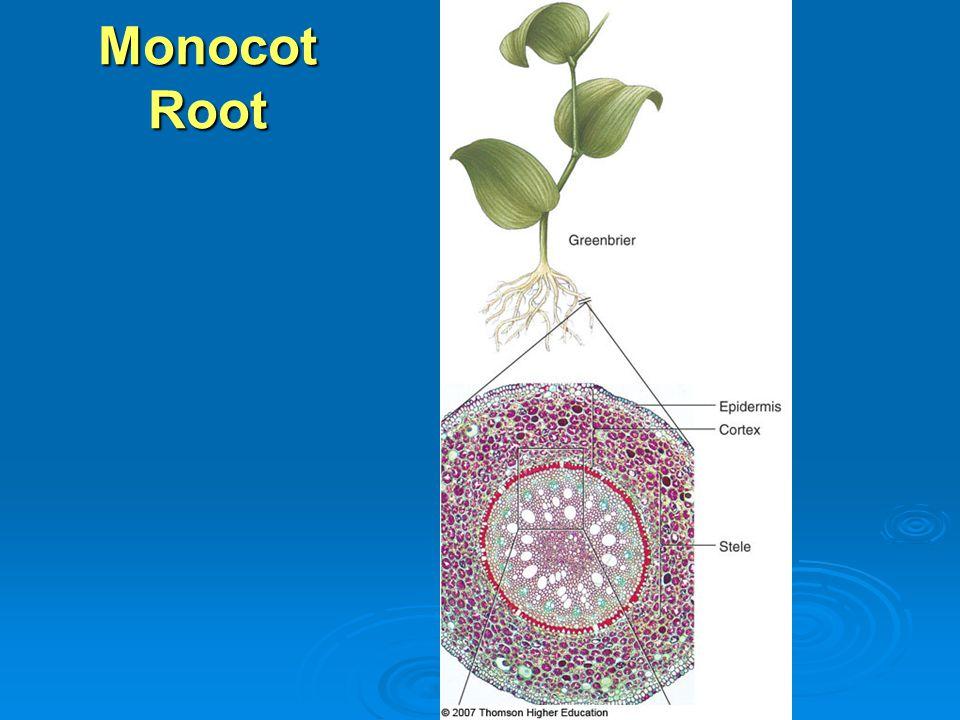 Monocot Root