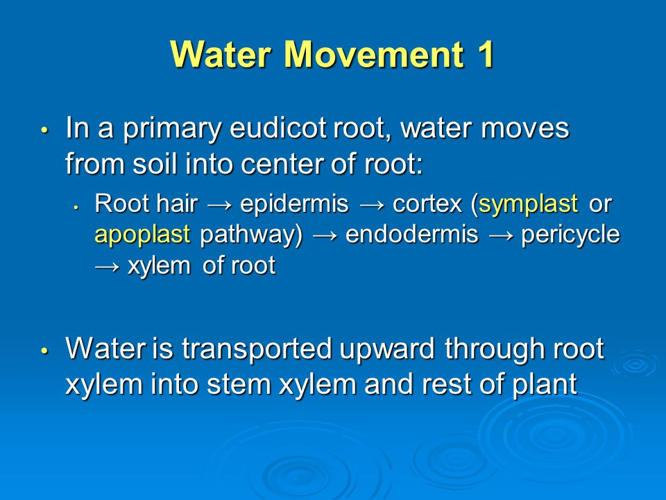 Water Movement 1 In a primary eudicot root, water moves from soil into center of root: