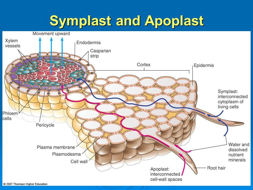 Symplast and Apoplast