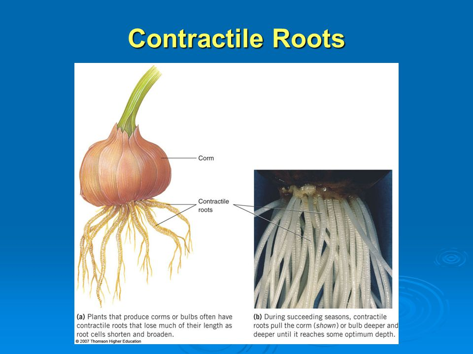 Contractile Roots