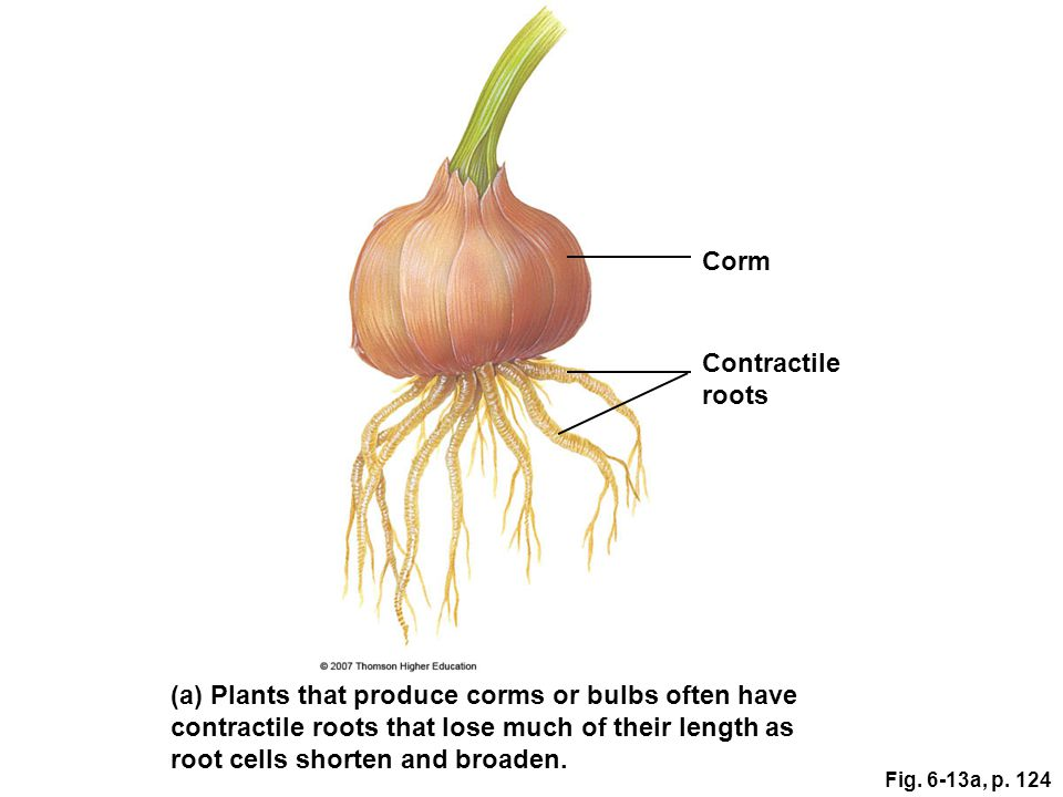 (a) Plants that produce corms or bulbs often have