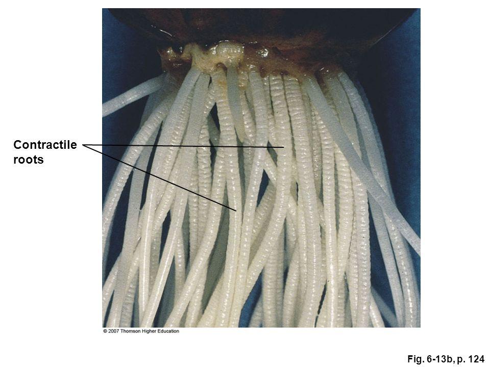 Contractile roots Figure 6.13: Contractile roots. Fig. 6-13b, p. 124