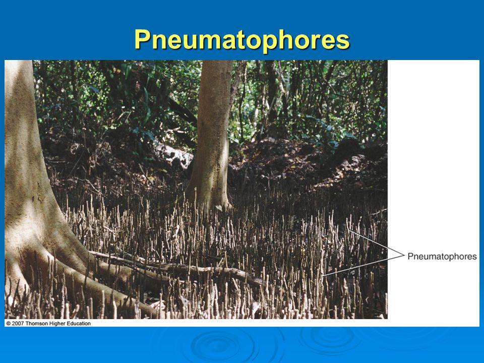 Pneumatophores