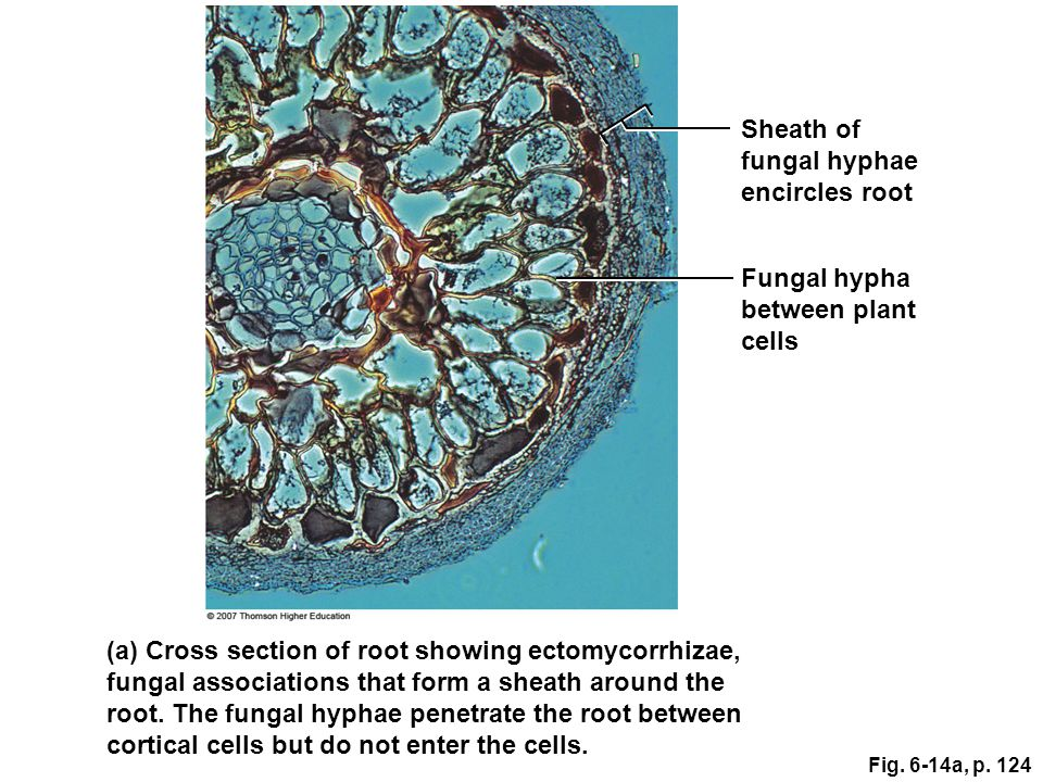 (a) Cross section of root showing ectomycorrhizae,