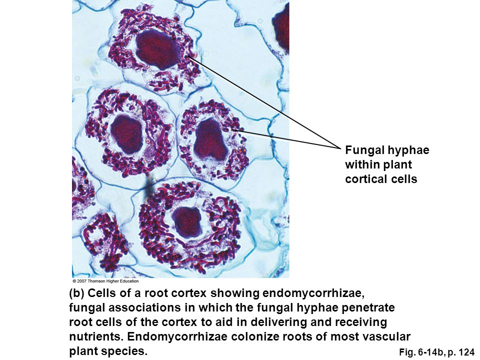 (b) Cells of a root cortex showing endomycorrhizae,