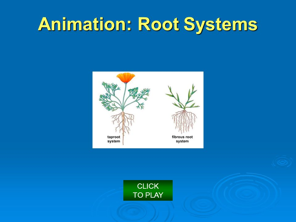 Animation: Root Systems