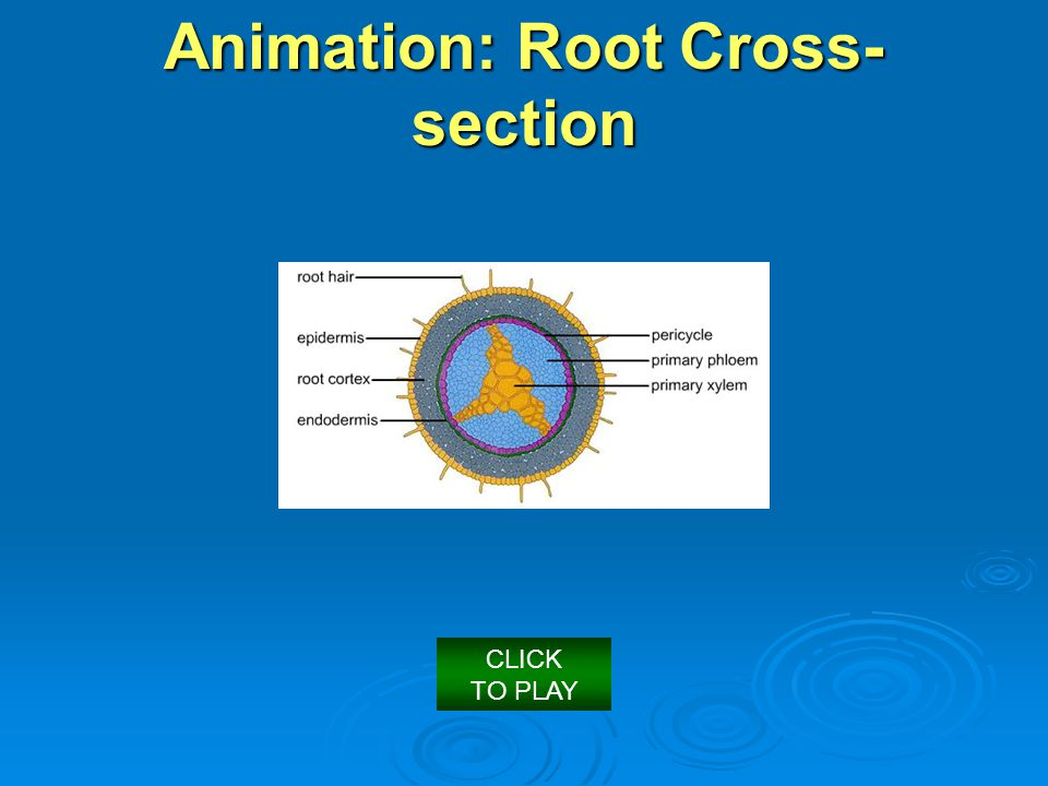 Animation: Root Cross-section