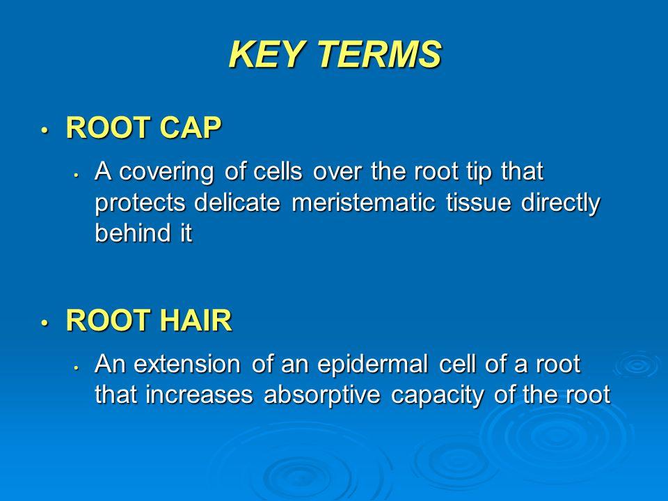 KEY TERMS ROOT CAP ROOT HAIR