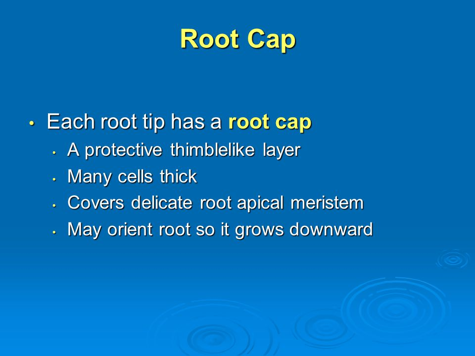 Root Cap Each root tip has a root cap A protective thimblelike layer