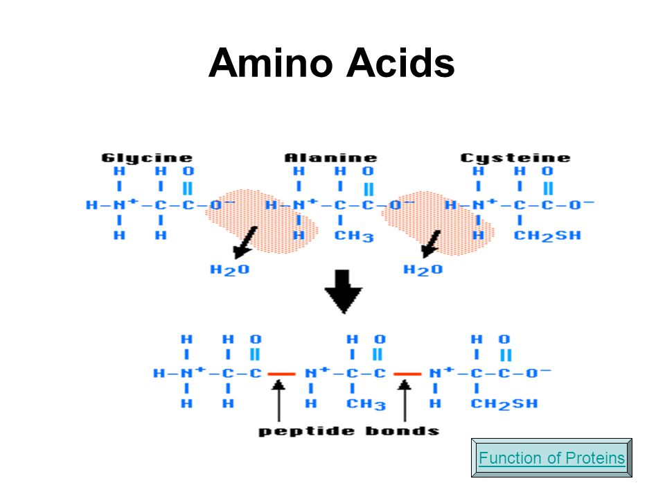 Amino Acids Function of Proteins