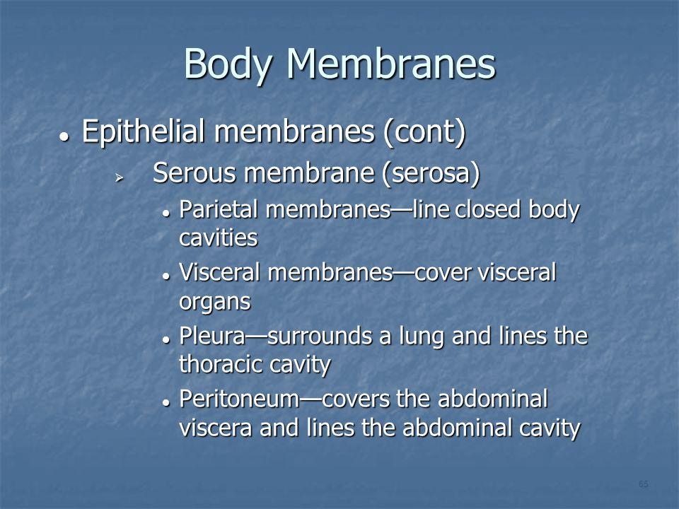 Body Membranes Epithelial membranes (cont) Serous membrane (serosa)