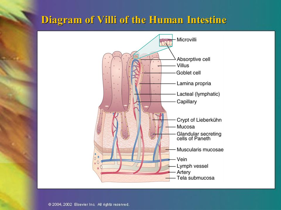 Diagram of Villi of the Human Intestine