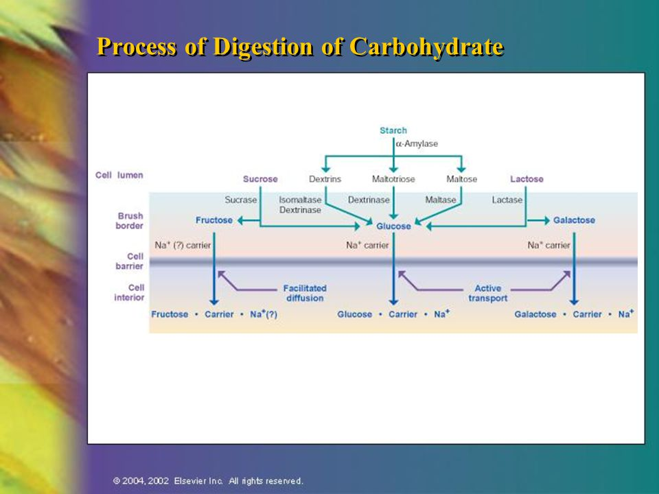 Process of Digestion of Carbohydrate