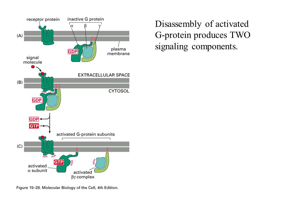 Disassembly of activated G-protein produces TWO signaling components.