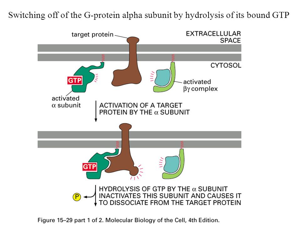 Switching off of the G-protein alpha subunit by hydrolysis of its bound GTP