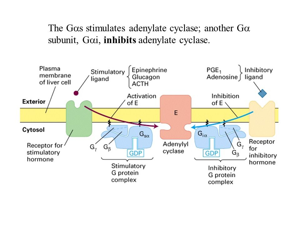 The Gas stimulates adenylate cyclase; another Ga subunit, Gai, inhibits adenylate cyclase.