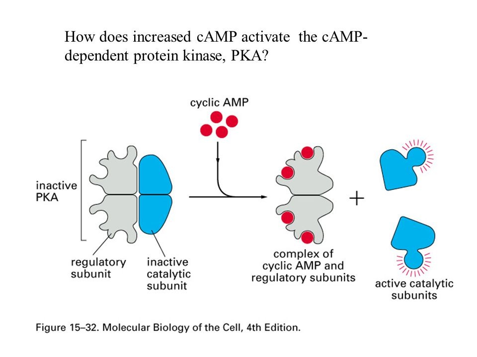 How does increased cAMP activate the cAMP-dependent protein kinase, PKA