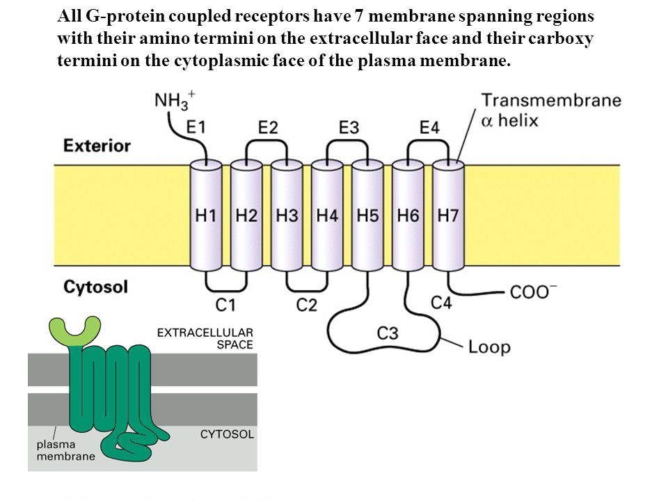 All G-protein coupled receptors have 7 membrane spanning regions with their amino termini on the extracellular face and their carboxy termini on the cytoplasmic face of the plasma membrane.