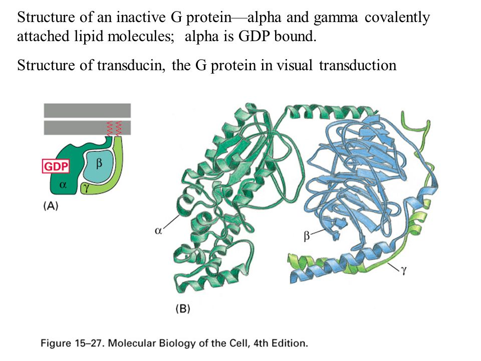 Structure of an inactive G protein—alpha and gamma covalently attached lipid molecules; alpha is GDP bound.