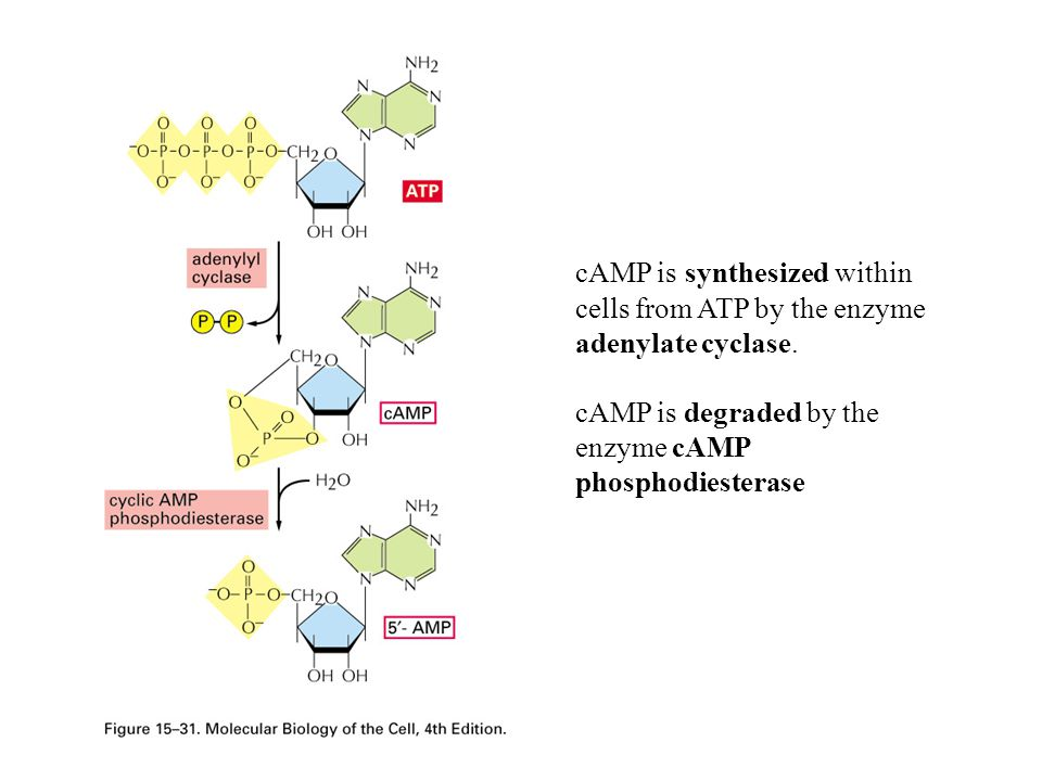 cAMP is synthesized within cells from ATP by the enzyme adenylate cyclase.