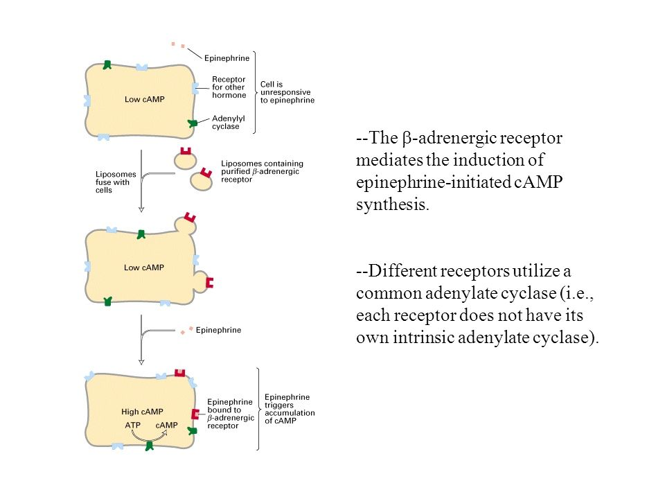 --The b-adrenergic receptor mediates the induction of epinephrine-initiated cAMP synthesis.