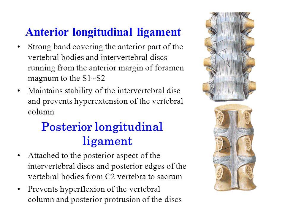 Anterior longitudinal ligament