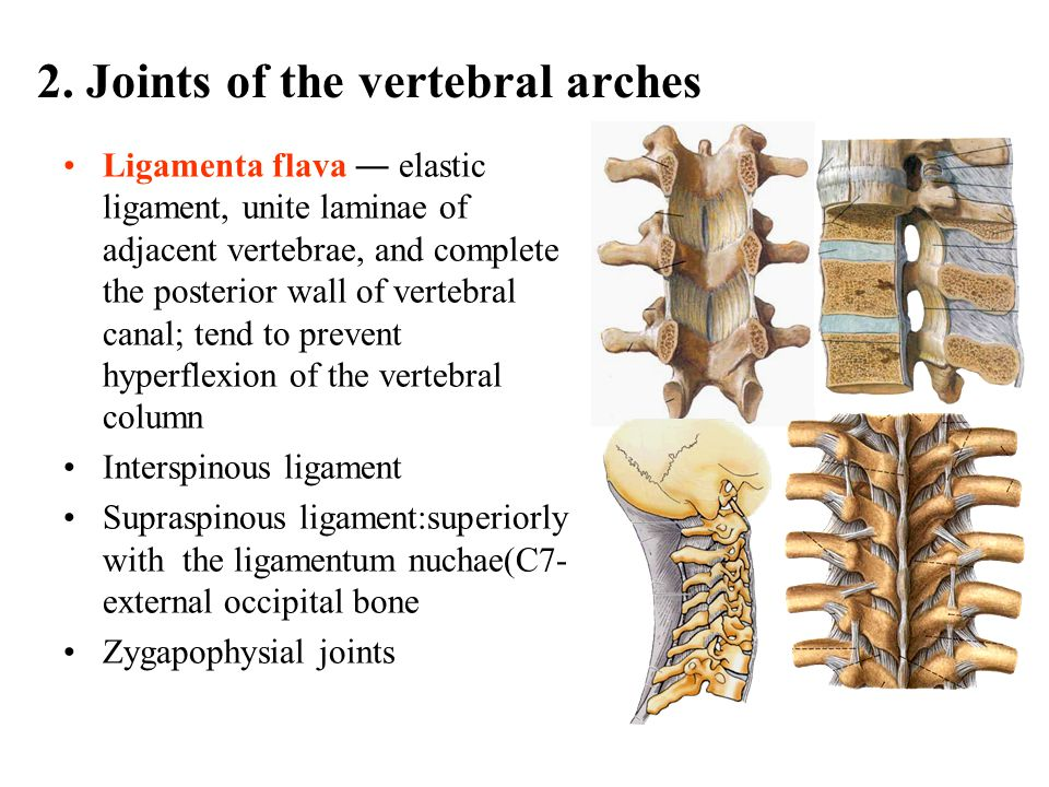 2. Joints of the vertebral arches