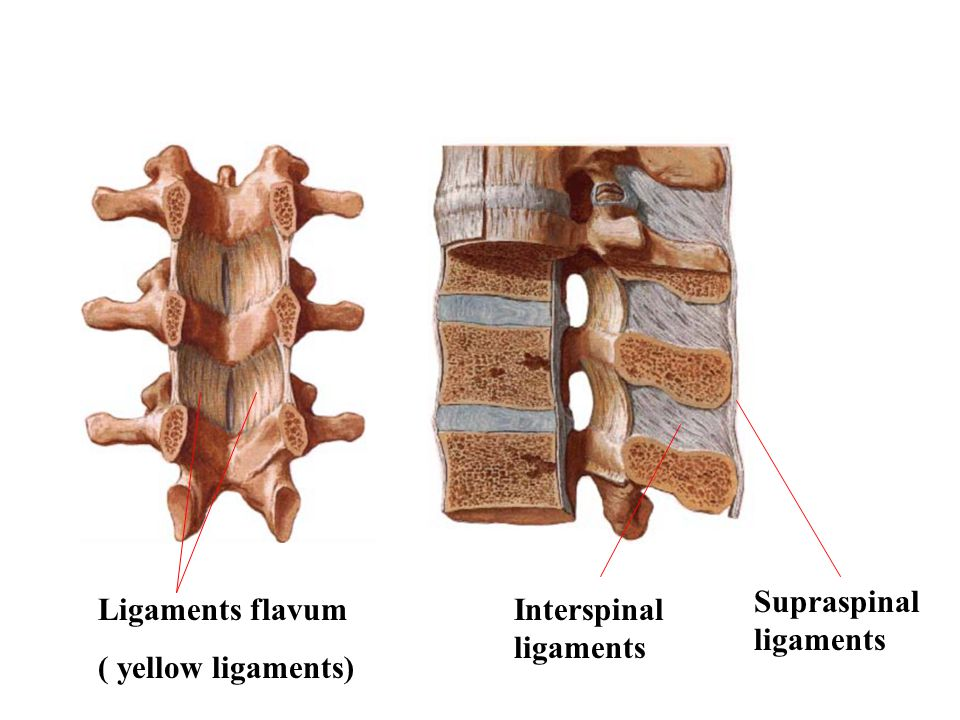 Supraspinal ligaments
