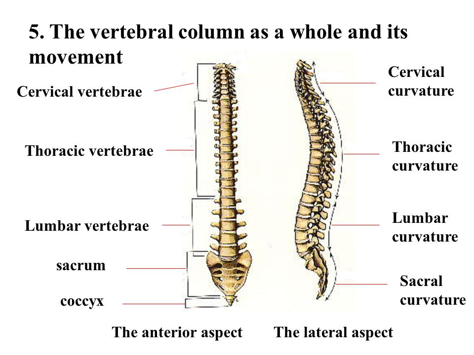 5. The vertebral column as a whole and its movement